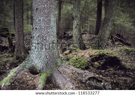 Close up of coniferous tree in wild forest