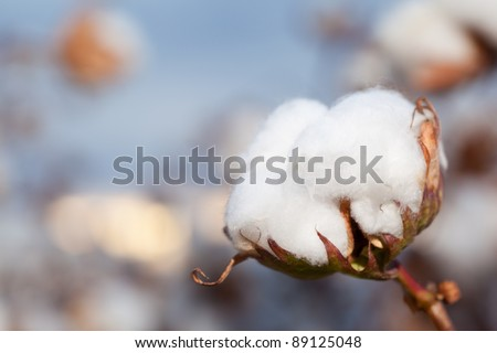 Close-up of Cotton Boll