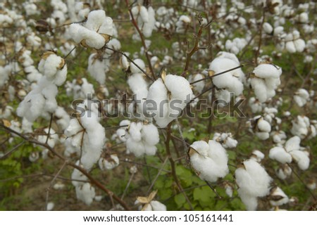 Close-up of cotton plants in field