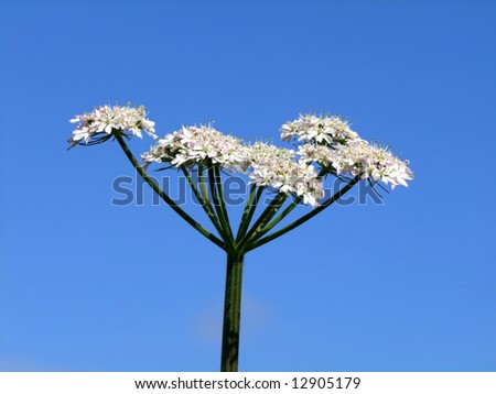 Close up of Cow parsley, Wild Chervil (Anthriscus sylvestris).