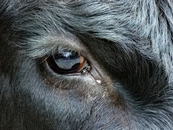 Close up of Cow with Tear in eye and reflection of fence in the eye.