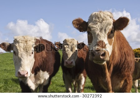 close up of cows in a field
