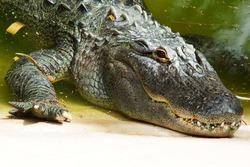 close-up of crocodile head lying river bank or lake shore
