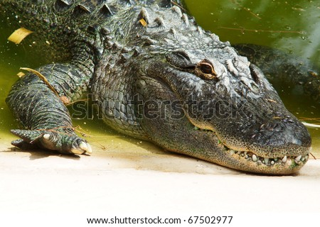 close-up of crocodile head lying river bank or lake shore