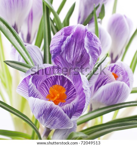 Close up of crocus flowers on white background