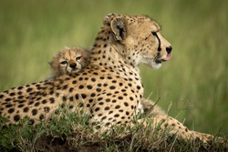 Close-up of cub lying head on cheetah