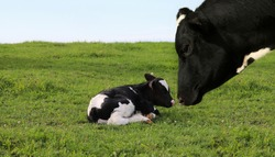 Close-up of curious Holstein heifer's face looking at tiny little newborn calf laying in the green grass
