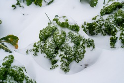Close up of curly kale in the snow (Brassica Oleracea)
