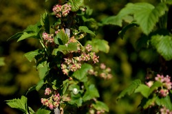 close-up of currant bloom, a small yellow-pink flower and young leaves on a branch of a currant bush growing in the garden on a green background . farming and growing organic products.