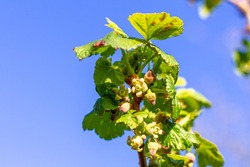 close-up of currant bloom, a small yellow-pink flower and young leaves on a branch of a currant bush growing in the garden on a green background . farming and growing organic products