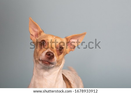 Close up of cute big eared silly looking chihuahua weenie goofy expression Stock photo ©