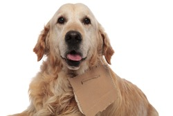close up of cute homeless golden retriever panting while lying on white background