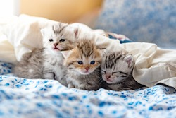 Close up of cute kitten play and lying on the bed in home
