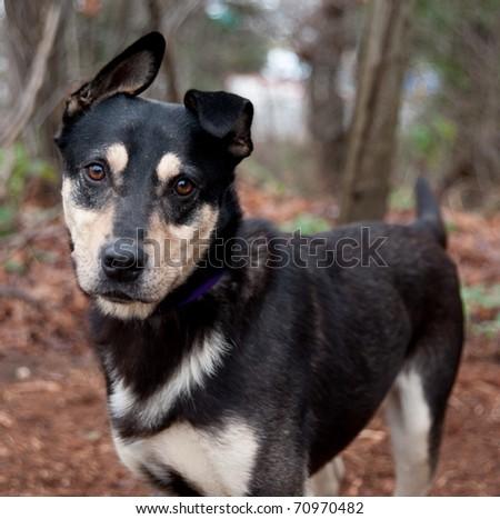 Close Up of Cute Mix Breed Dog Enjoying Walk in Park - stock photo