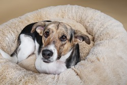 Close up of Cute mongrel dog looking at camera while resting on fluffy dog bed at home