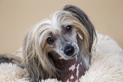 Close up of Cute purebred Chinese crested dog looking at camera while resting on fluffy dog bed at home