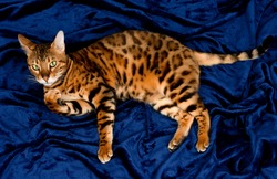 Close up of cute spotted bengal cat with beautiful green eyes, looking at camera, on dark blue background.
