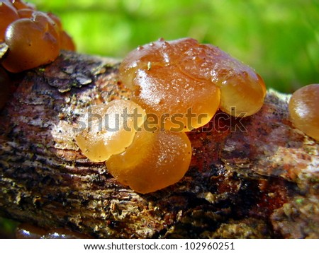Close up of Dacrymyces stillatus, also known as Common Jellyspot Fungus, on a dead pine branch