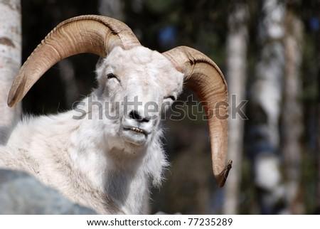 Close up of Dahl Sheep in Alaska