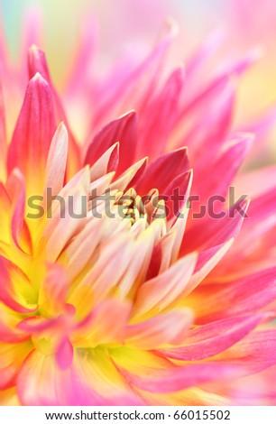Close-up of  dahlia flower - stock photo