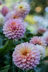 close up of dahlia rose flower, blurry background
