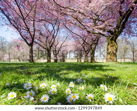 Close up of daisies with beautiful blossoming cherry sakura trees in a wonderful landscape garden in the background, pastel colors with dreamy feel. #1299397849
