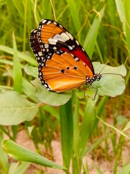 Close Up of Danaus chrysippus Butterfly.Plain Tiger butterfly sitting on the Grass Plants during springtime in its natural habitat and drinking Nectar.Plain Tiger butterfly.Selective Focus on Subject.