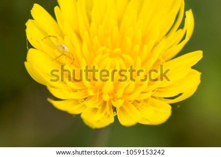Stock Photo Close up of dandelion flower and a small spider on it, top view point macro shot.
