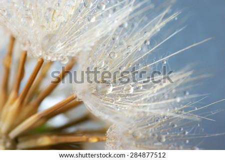 Close-up of dandelion (goatsbeard) with water drops against blue sky. Soft focus, shallow DOF.