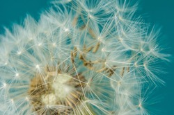 Close up of dandelion head and seeds on a teal background