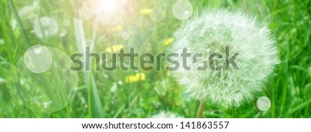 close up of Dandelion on background green grass  - summer banner - stock photo