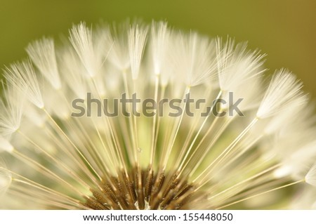close up of dandelion seed
