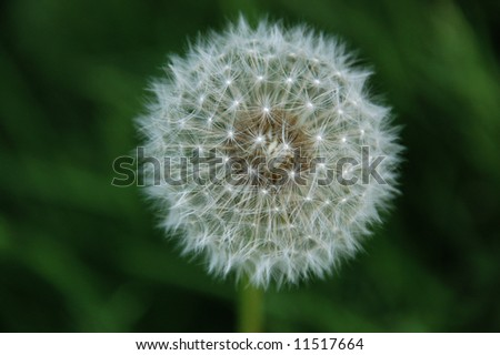 Close-up of dandelion seed packet