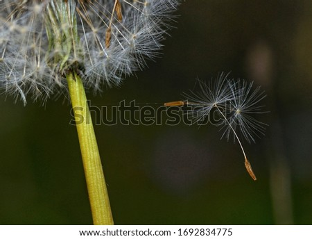 Close-up of dandelion seeds just detached from the plant on dark background  ストックフォト ©