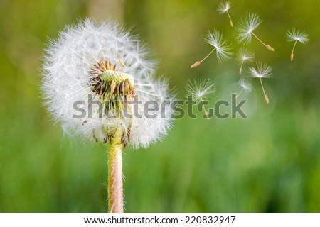 close up of dandelion spores...