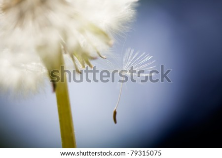Close up of dandelion, very selective focus