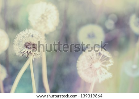 close up of Dandelion with abstract color and shallow focus