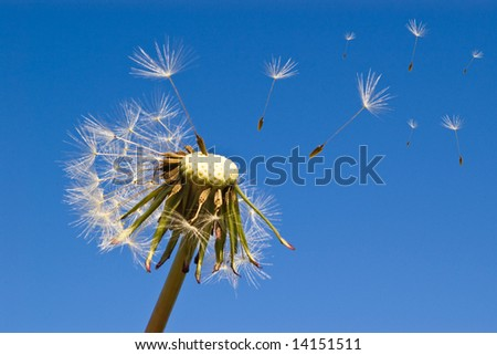 close-up of dandelion with seed blowing in wind