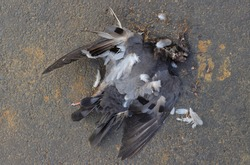 Close Up of Dead Bird Due to Environment Pollution or Scorching Heat in Summer Lying on Road