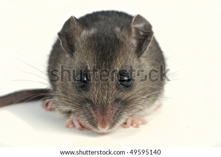 close-up of deer mouse straight on view at low angle on white background