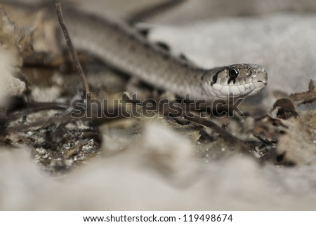 Close up of DeKay's Brown Snake on the ground.