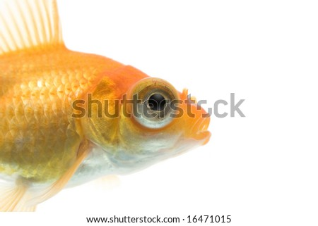 Close-up of demekin goldfish against white background.