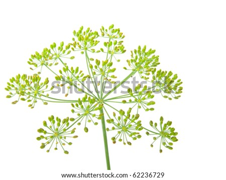 Close-up of dill,
