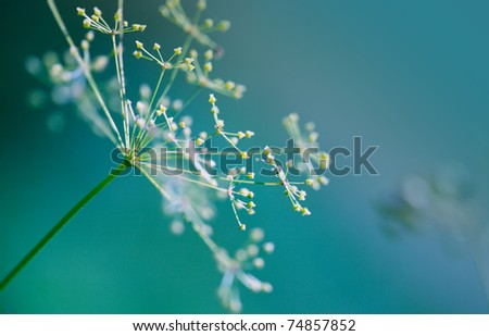 Close-up of Dill flower umbels in autumn