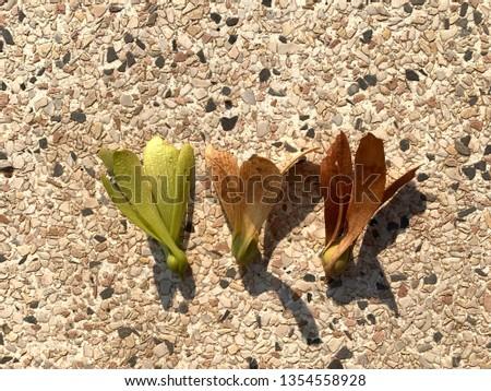 Close up of 3 disterocarpus flower, green soft, medium brown and dark brown. #1354558928