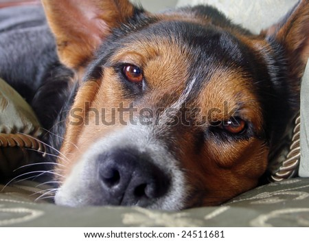 Close-up of dog lying down with sorrowful expression on his face, focus on eyes