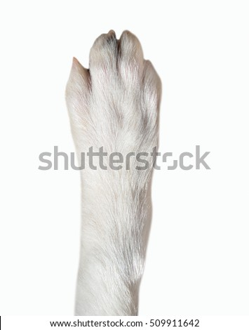 Close-up of dog paw isolated on white background. Dog breed is Border Collie