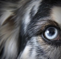 Close-up of Dog with Blue Eye