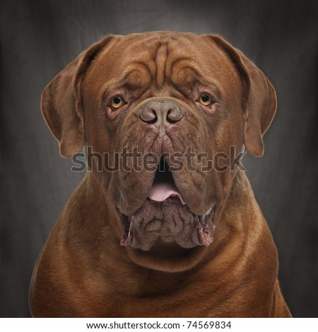 Close-up of Dogue de Bordeaux, 20 months old, in front of black background