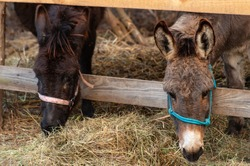 Close up of donkeys heads eating hay  near the wooden fence
